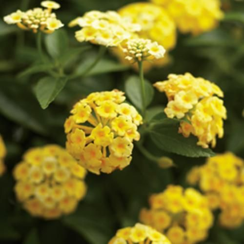 Lantana 'Luscious Lemonade' - A bright addition to your containers that is trouble free and requires little care.
