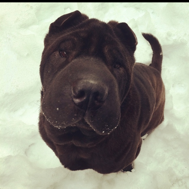Must see Shar Pei Chubby Adorable Dog - d557efebf3d52a54837578dd2e9885e4--sharpies-i-am-beautiful  Picture_259999  .jpg