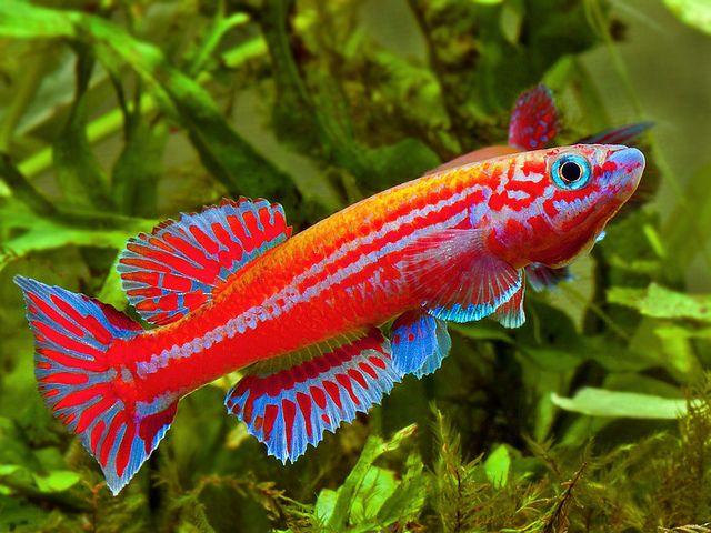 Aphyosemion Ogoense Fish Tank Pinterest Photos