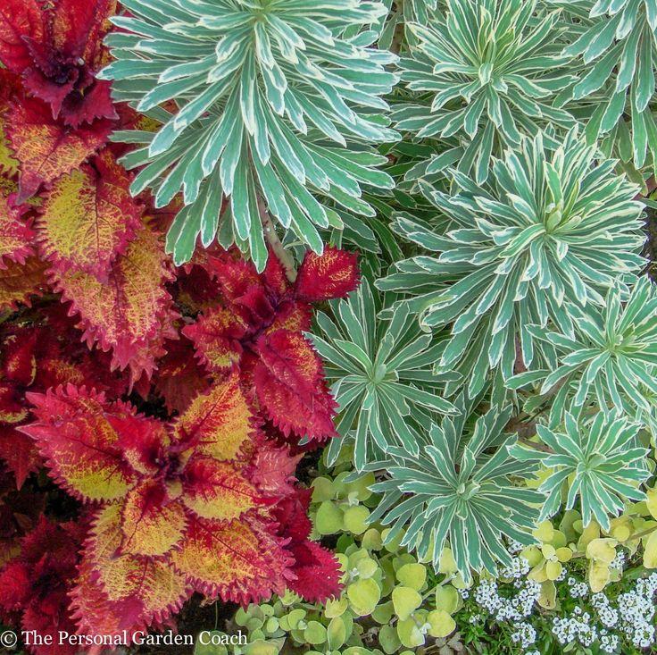 Coleus and Euphorbia 'Silver Swan'  http://fine-foliage.com/2014/09/17/september-survey-of-foliage/