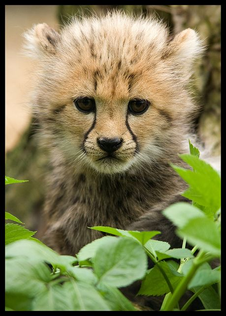 IMG_6641 by Theo Kruse on Flickr.  Portrait of a cheetah cub