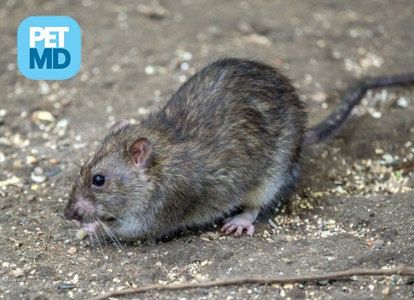 Study Shows Uptown And Downtown Rats In New York Are Genetically