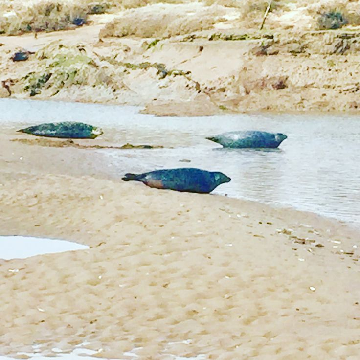 Such funny animals on Brancaster beach enjoying the sun Book your dog and child friendly holiday in North Norfolk now - link in bio