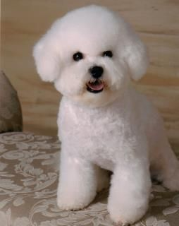 This is absolute bichon perfection in a puppy