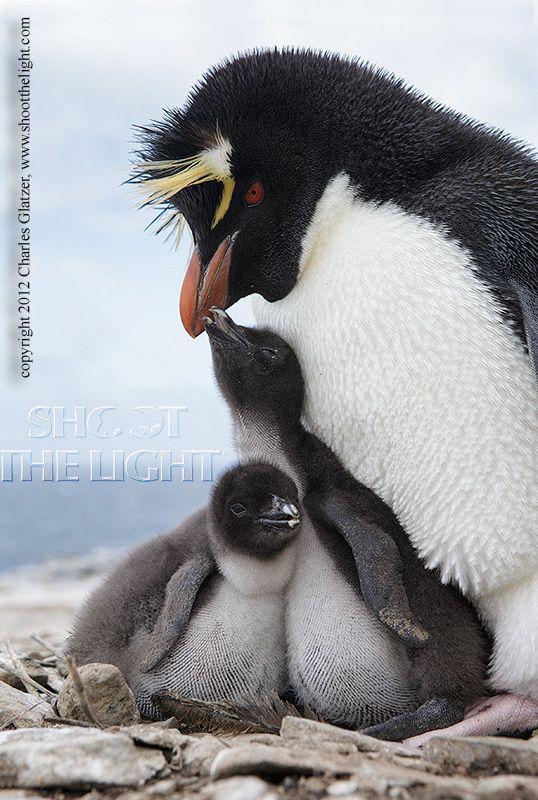 Rockhopper penguin with chicks