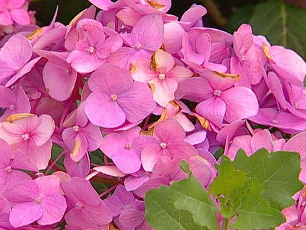 1000 ideas about endless summer hydrangea on pinterest for Low maintenance summer flowers
