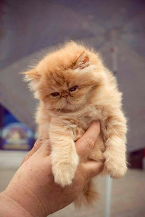 (^-^) Persian kitten Thomas wants one like this