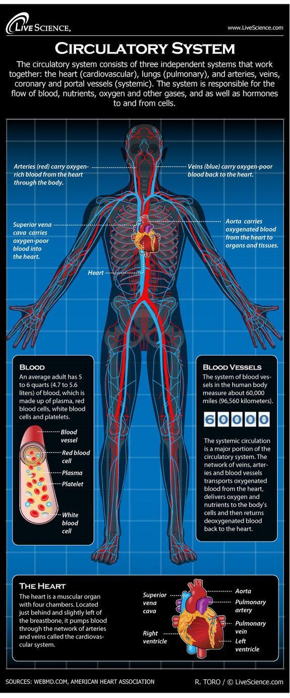 33 best 5th grade circulatory system images on pinterest diagram of the human circulatory system infographic ccuart Choice Image