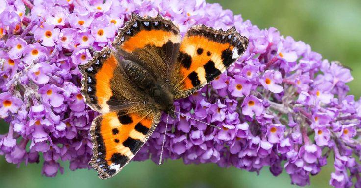 Er zijn een heleboel insecten waar wij als mensen niet gelukkig van worden. Wespen, keversen muggen zien we over het algemeen liever gaan dan komen. Echter is er één insectensoort waar de meesten van onswél vrolijk van worden: de vlinder. Deze kleine beestjes hebben de mooiste kleuren en patronen, waardoor zijeen feestje zijnom naar te