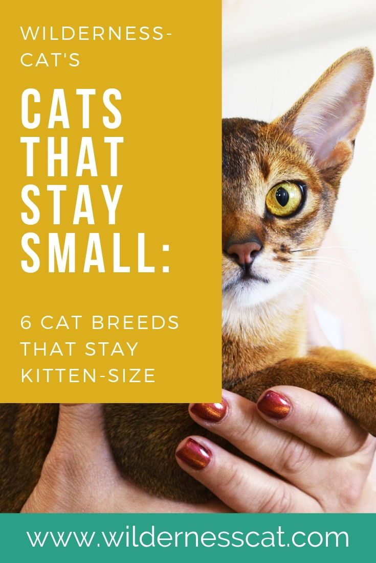 Small Cat Breeds 6 Breeds That Stay Small Wildernesscat Cat Breeds Small Cat Breeds Tiny Cats
