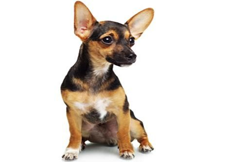 Dog Pinscher nano
