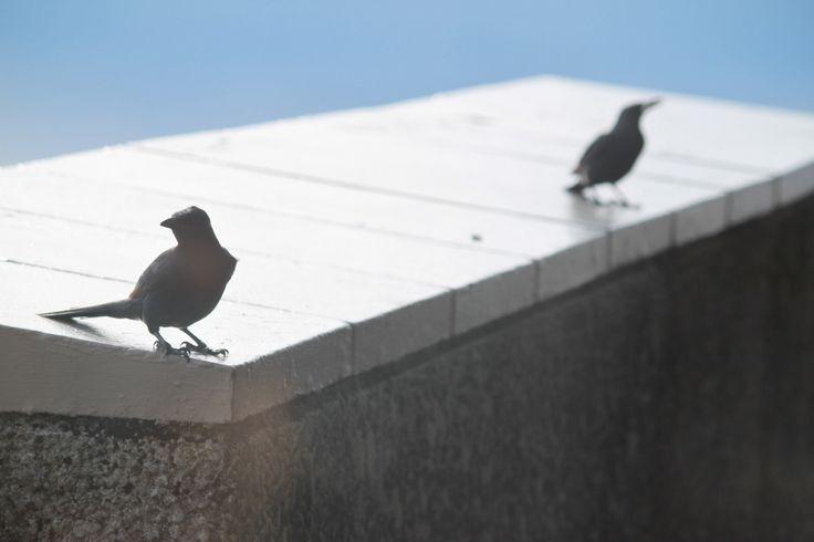 Flirting birds, Table Mountain, South Africa