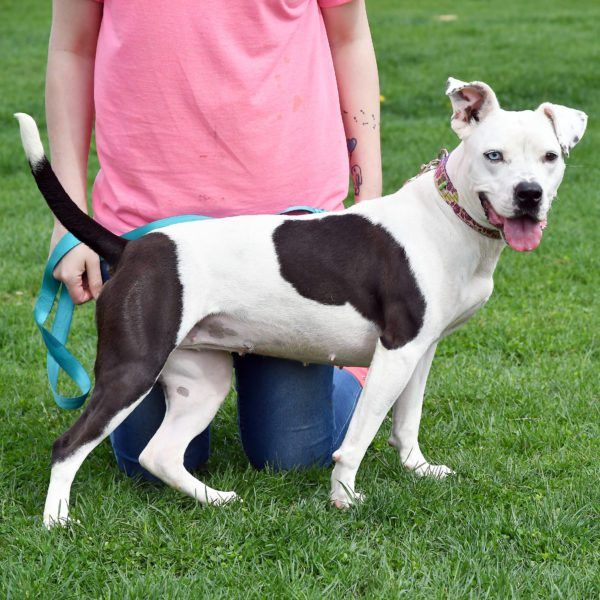 Bleu Is A Fantastic Girl That Needs An Experienced Dog Handler To