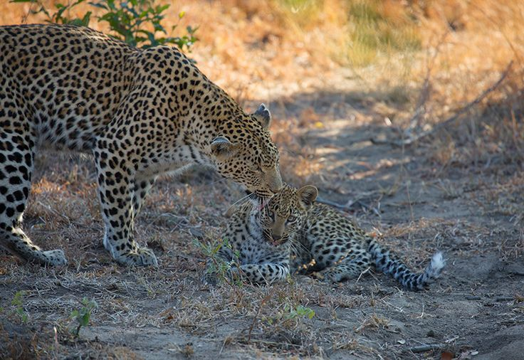 Maliliwane (Kwatile) female reassures her young female cub 07/2014. Photo by Gerard Cappello.