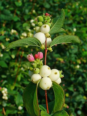Common Snowberries (symphoricarpos albus): Symphoricarpos albus is a species of flowering plant in the honeysuckle family known by the common name common snowberry. It is native to North America, where it occurs across much of Canada and the northern and