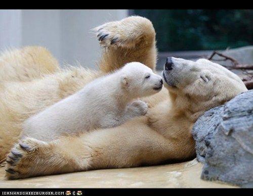 Baby Polar Bear kisses!: A Kiss, Mothers, Polarbear, Baby Animal, Baby Polar Bears, The Zoos, Thalarcto Maritimus, Ice Bears, Polar Bears Cubs