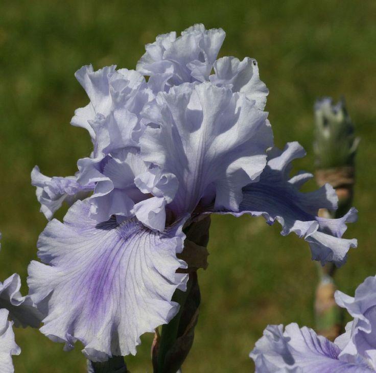TB Iris germanica 'Ascent of Angels' (Bernard, 1995)