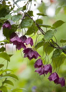 Purple Bell Vine, Rhodochiton atrosanguineus (finnish Keijunmekko) by Elvi Rista