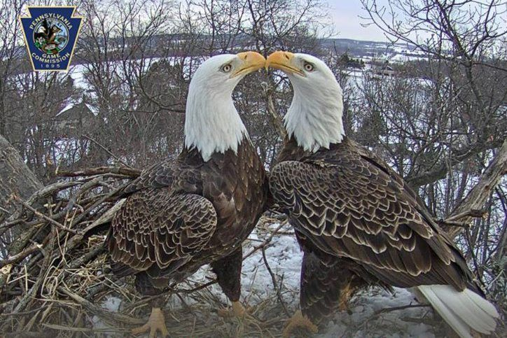 eagle cam hanover pa shaking off snow | How the York County Eagle Cam came to be such a sensation ...