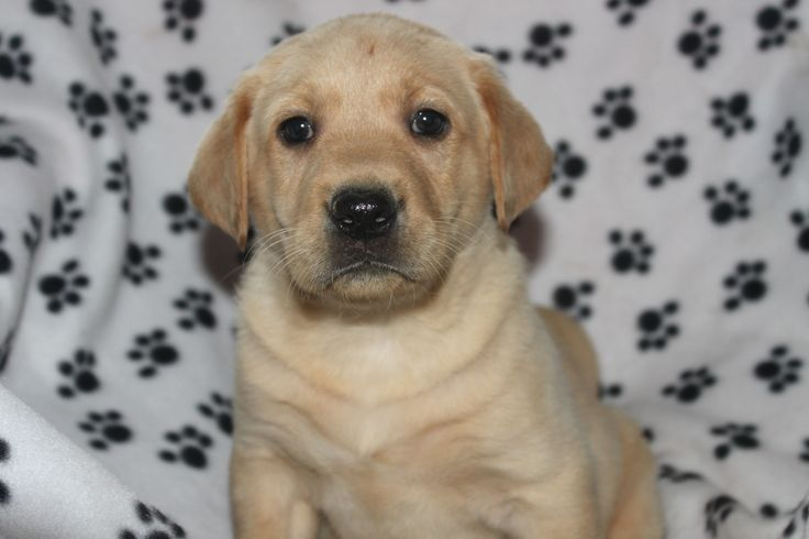 Yellow labrador retriever puppies for sale -  This is the nicest male in the litter at http://www.network34.com