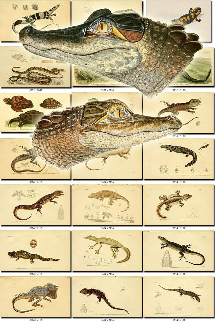 REPTILES & AMPHIBIAS-24 Collection of 222 vintage images animals Frog Tegu Turtle Snake Toad Lizard digital download printable pictures by ArtVintages on Etsy