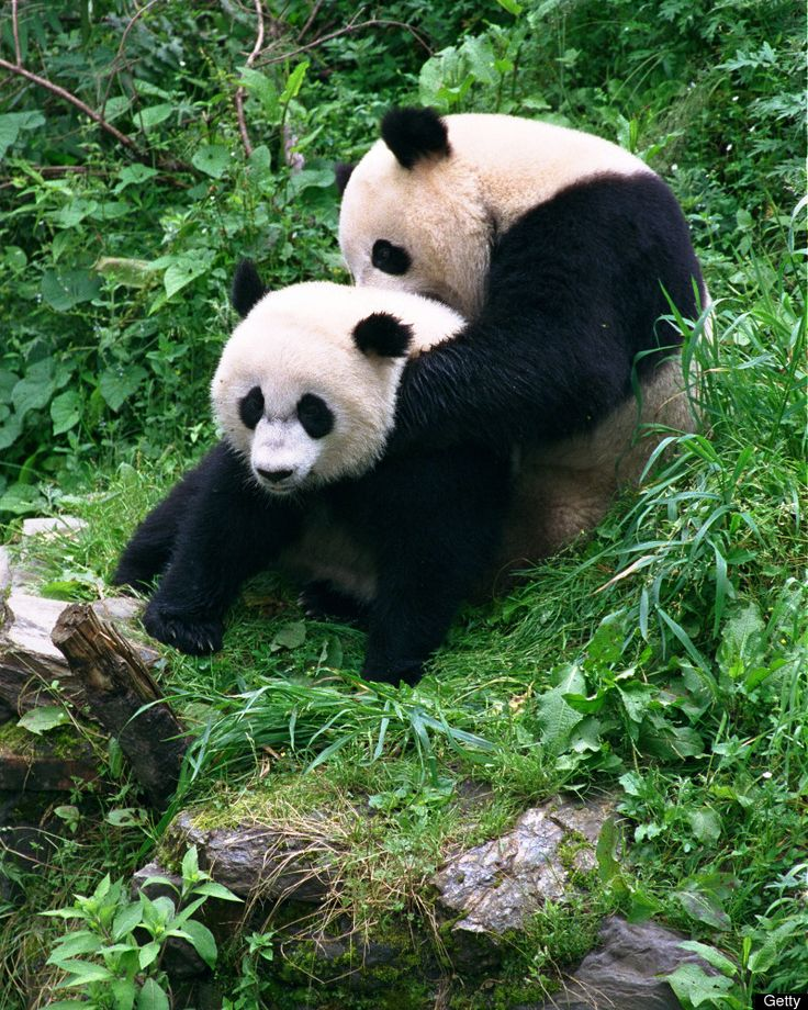 Giant pandas Mei Xiang,  and Tian Tian play together at the China Research and Conservation Center for the Giant Panda in Wolong in Sichuan Province, China.
