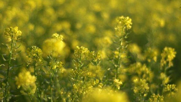 Field Of Mustard Plants Summer Blossom By Dimabalanfilms Field