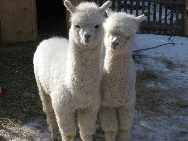 alpacas best petting zoo animal ever these looks fun too i need