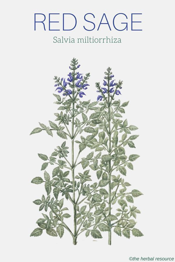 red sage Salvia miltiorrhiza