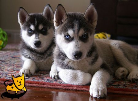 siberian husky twinsssss. gahhhhhh look how at these little blue eyed fur balls!!!!!!!
