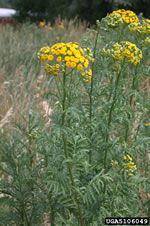 common tansy plant; photo credit: Mary Ellen (Mel) Harte, , Bugwood.org