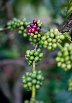 How Coffee Is Grown at the Me Linh Coffee Garden in Vietnam