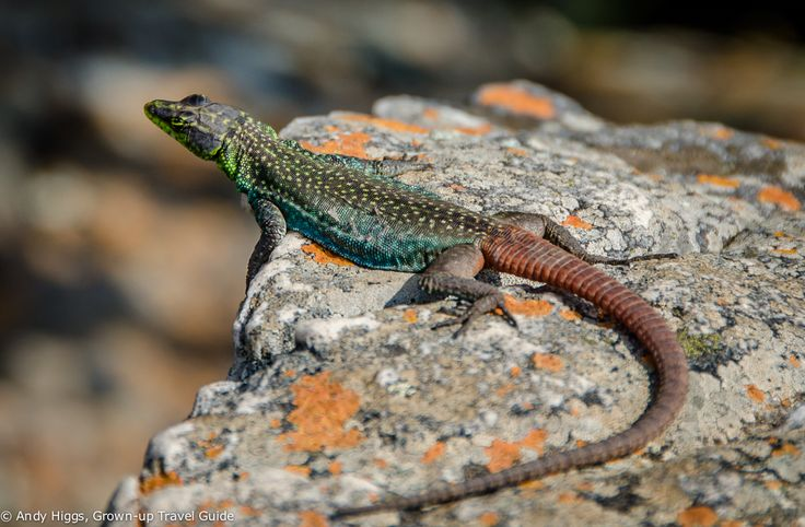 Met this little fella at Blyde River Canyon in South Africa. Found out later he's a Sekukhune flat lizard and actually quite rare; this species of lizard is only found in a small area #lovesouthafrica