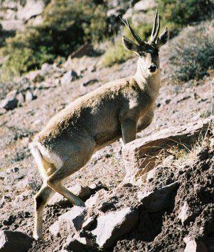 North Andean Huemul or Taruca