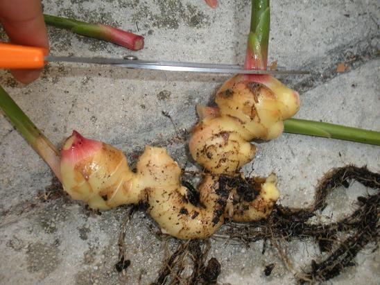 comment faire pousser du gingembre en pot projets 224 essayer comment and pots