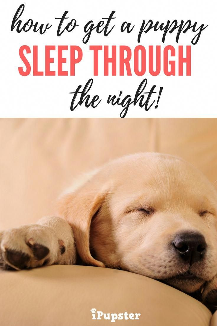How To Get A Puppy To Sleep Through The Night Sleeping Puppies