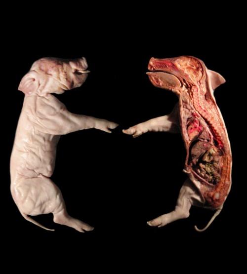 Virtual Fetal Pig Dissection