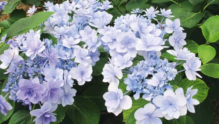 Not Your Ordinary Hydrangea Hydrangea Varieties Summer Flowers To Plant Hydrangea