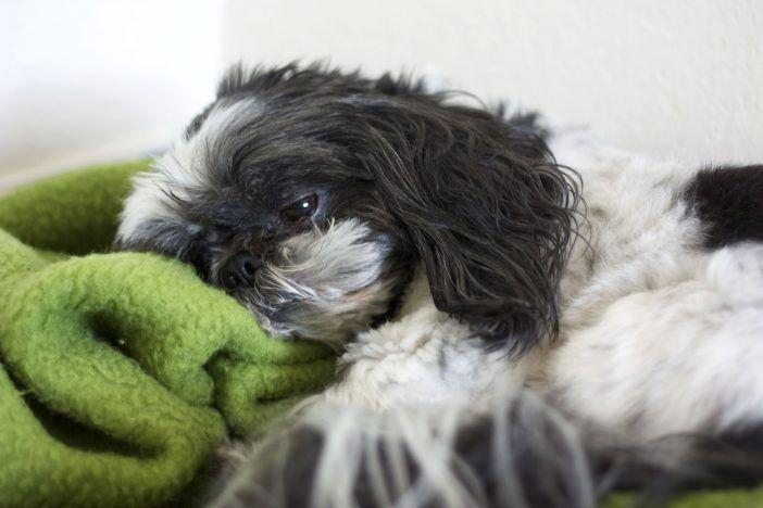 Como mantener a su perro a salvo de la enfermedad de la gripe. Síntomas a tener en cuenta. Hay muchos síntomas de esta enfermedad para un perro que ha contraído la cepa de la gripe. El más común son fiebre, tos, nariz que moquea, letargo y pérdida de apetito. Aunque …
