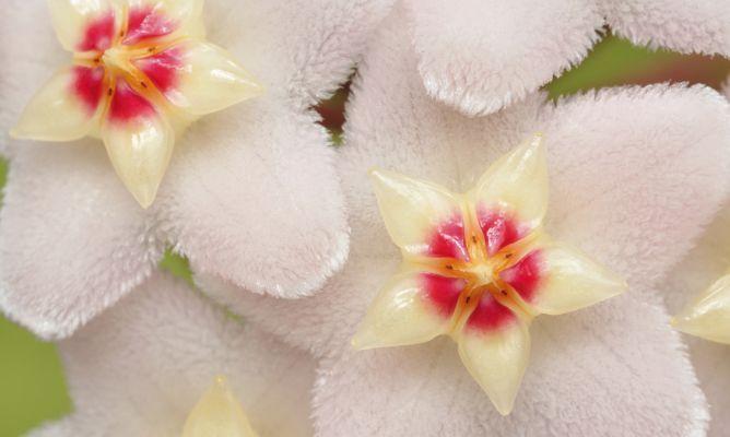 Flor de nacar, mi flor favorita!