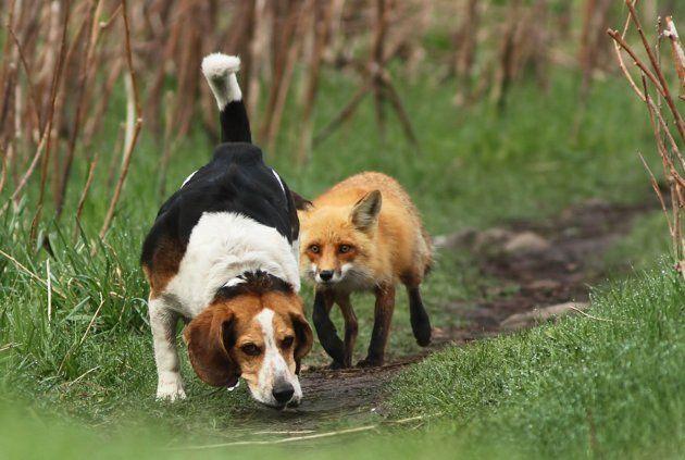 Fox tracking. You're doin' it wrong, beagle.
