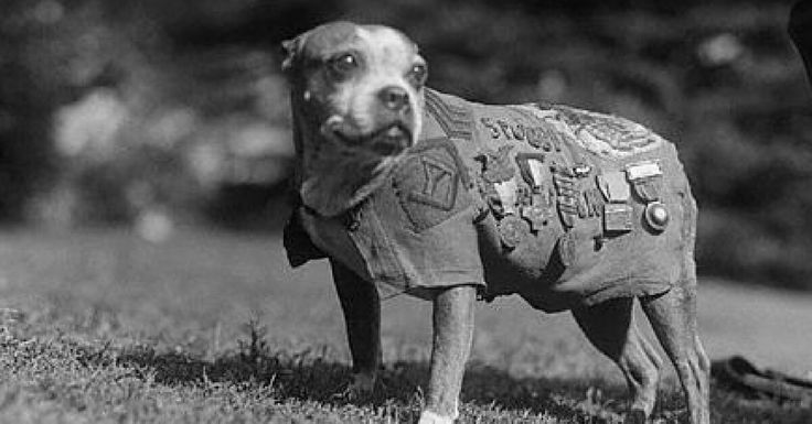 Sergeant Stubby: The Most Decorated Dog of The First World War