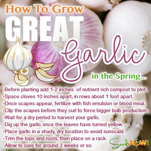 How To Grow GREAT Garlic, In the Spring