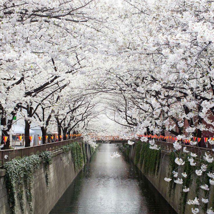 Fioritura dei ciliegi in Giappone 🎎🎌🎐