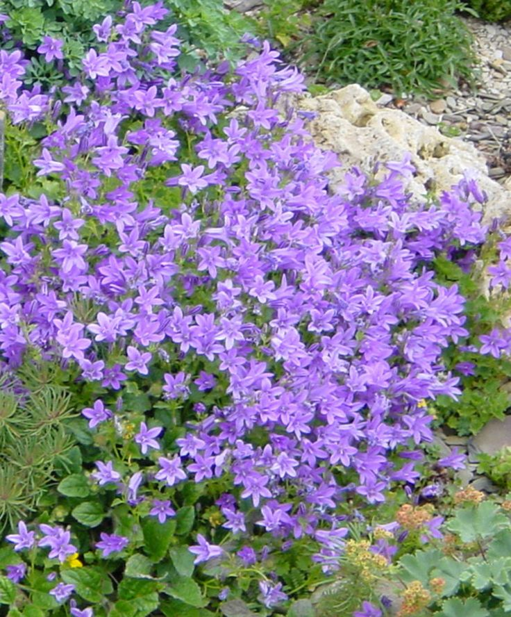 The Bellflower (Campanula Portenschlagiana) is one of the most popular plants. Rapidly develops into a large cushion covered with masses of little flowers. Unsurpassable as a ground cover plant and also ideal for growing over stone walls. Exceptionally free flowering, producing flowers for years on end. / murklocka