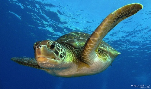Making a Better Future for Endangered Sea Turtles in Africa (Video) click on video to watch the sea turtles hatch