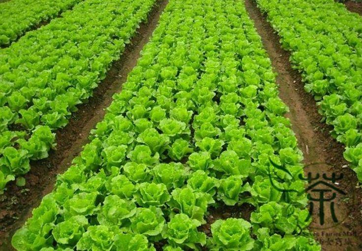 Loose Leaf Lettuce, Latuca Sativa Seed, Seasons Lettuce