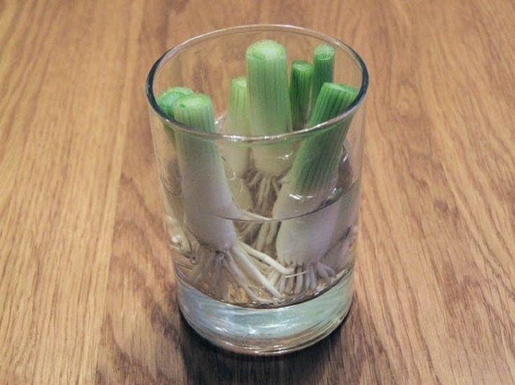 Очень легко всегда иметь свежую зелень настоле. Многие растения сразуже прорастают вводе идают новый урожай. Попробуйте создать усебя дома эту маленькую оранжерею— витамины будут дарить вам силы каждый день!   Список из8овощей, которые выможете выращивать снова иснова. Зеленый лук  Зе