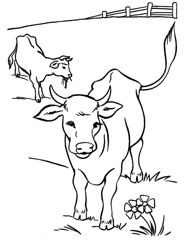 Cows Cows And Calves At Yard Coloring Pages Coloring Pages