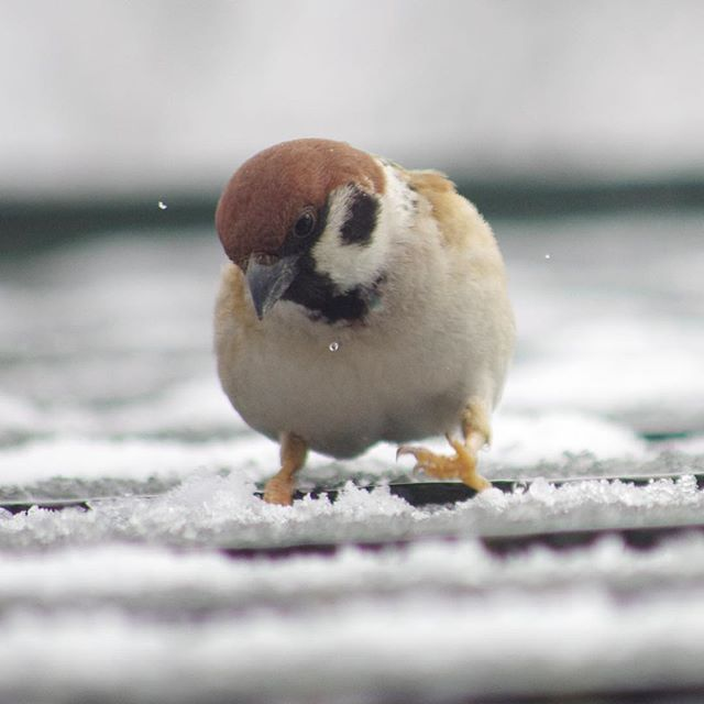 「わー、やべーぞ!すべるぞー」 #雀#スズメ#すずめ#sparrow